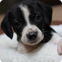 Adopt A Pet :: Hazel - Fredericksburg, VA