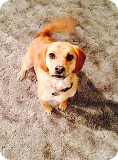 Beagle Mix Dog for adoption in Edmonton, Alberta - SADIE