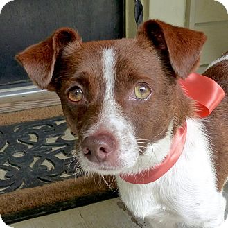 Terrier (Unknown Type, Small) Mix Dog for adoption in Baton Rouge, Louisiana - Harley