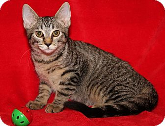 Domestic Shorthair Cat for adoption in Marietta, Ohio - Courtney (Spayed)