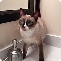 Siamese Cat for adoption in Long Beach, California - Sebastian