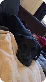 Labrador Retriever/Coonhound Mix Puppy for adoption in Saint Louis, Missouri - Josephine