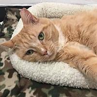 Adopt A Pet :: Brutus - Naugatuck, CT