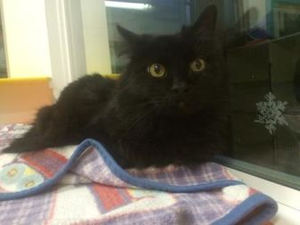 Domestic Longhair/Domestic Shorthair Mix Cat for adoption in Denver, Colorado - Suzie