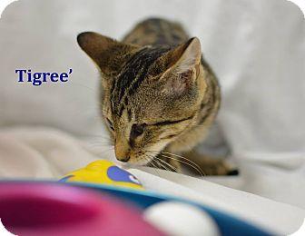Domestic Shorthair Kitten for adoption in Miami Shores, Florida - Tigree