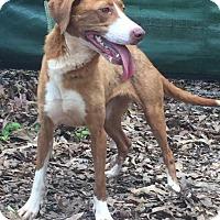 Adopt A Pet :: Cinamon - Rexford, NY