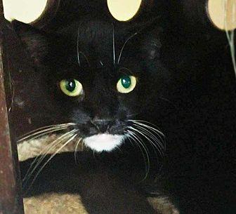 Domestic Shorthair Cat for adoption in Harleysville, Pennsylvania - Berta