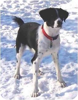 Border Collie/Labrador Retriever Mix Dog for adoption in Osseo, Minnesota - Lucky
