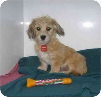 Yorkie, Yorkshire Terrier/Maltese Mix Puppy for adoption in Ile-Perrot, Quebec - Petey