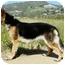 Photo 4 - German Shepherd Dog Dog for adoption in Los Angeles, California - Lena von Malibu