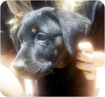 Labrador Retriever/Rottweiler Mix Puppy for adoption in Gilbert, Arizona - MICKIE