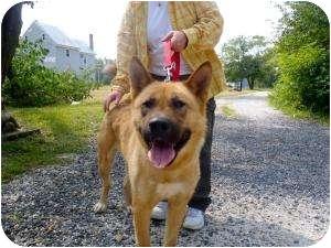 Akita Dog for adoption in East Amherst, New York - Venus