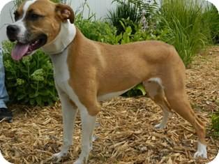 Pit Bull Terrier Mix Dog for adoption in Columbus, Nebraska - Trev