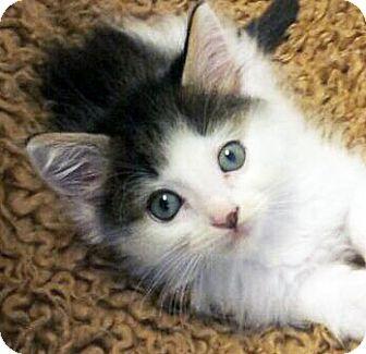 Domestic Mediumhair Kitten for adoption in Irvine, California - Luke