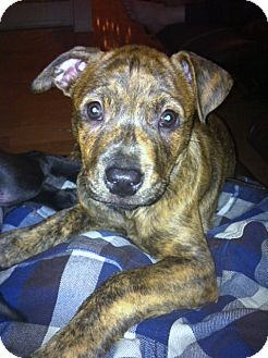 Pit Bull Terrier/Boxer Mix Puppy for adoption in Bellflower, California - URGENT! -Tiger Lilly
