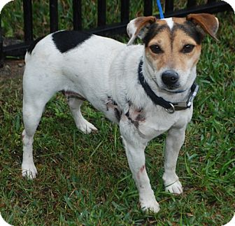 Jack Russell Terrier Dog for adoption in Houston, Texas - Danity in Houston