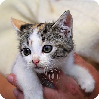 Domestic Shorthair Kitten for adoption in Tillamook, Oregon - Khaleesi