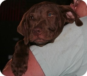 Chesapeake Bay Retriever/Labrador Retriever Mix Puppy for adoption in Bartonsville, Pennsylvania - LUKE