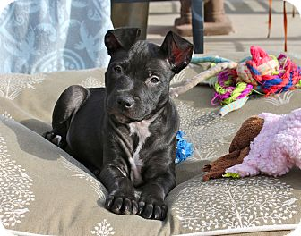 Pit Bull Terrier Mix Puppy for adoption in Los Angeles, California - Athena