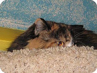 Domestic Longhair Cat for adoption in Sherman Oaks, California - Munchable
