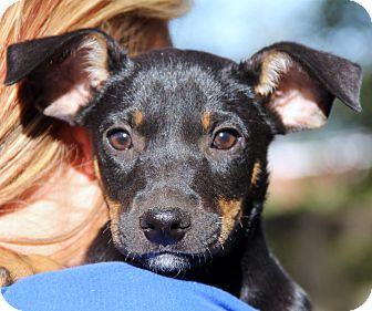 Doberman Pinscher Mix Puppy for adoption in Chicago, Illinois - Henry
