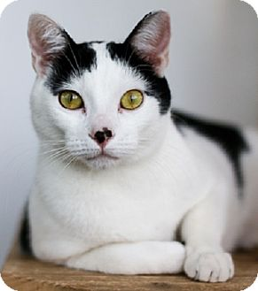 Domestic Shorthair Cat for adoption in Portland, Oregon - Pickles and Patches