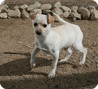 Chihuahua/Dachshund Mix Puppy for adoption in Yucca Valley, California - Fennel Gabe Arbuckle
