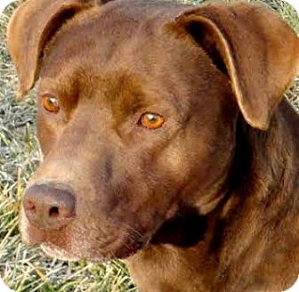 Labrador Retriever Dog for adoption in Wakefield, Rhode Island - RUSTY(SO SMART!!) WOW!