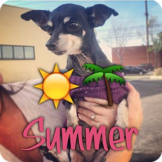 Chihuahua/Miniature Pinscher Mix Dog for adoption in Lomita, California - Summer the Tripawd