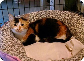 Domestic Shorthair Cat for adoption in Geneseo, Illinois - Brynn