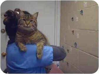 Domestic Shorthair Cat for adoption in Saanichton, British Columbia - Oakley