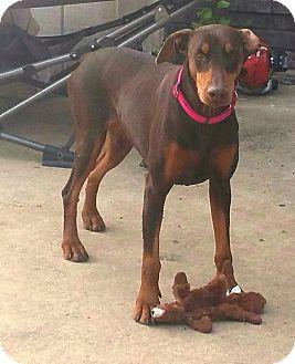 Doberman Pinscher Dog for adoption in Fort Worth, Texas - Lucy
