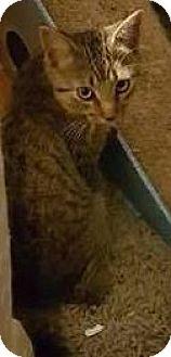 Domestic Shorthair Kitten for adoption in Woodstock, Ontario - Jacke