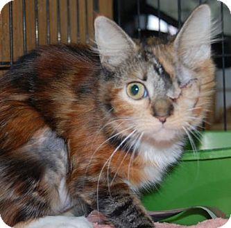 Domestic Shorthair Kitten for adoption in Brooklyn, New York - Fern