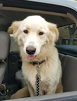 Great Pyrenees Dog for adoption in Kyle, Texas - Legend