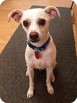 Chihuahua Mix Dog for adoption in East Hartford, Connecticut - Shorty in CT