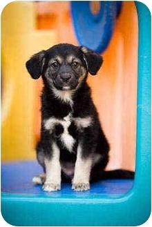 Border Collie/German Shepherd Dog Mix Puppy for adoption in Portland, Oregon - Ariel