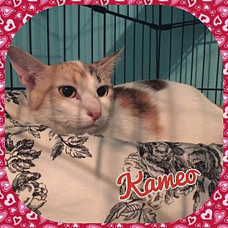Domestic Mediumhair Cat for adoption in Enid, Oklahoma - Kameo