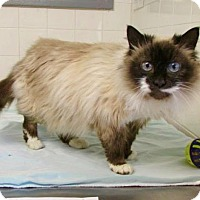 Himalayan Cat for adoption in Port Jervis, New York - Maddy