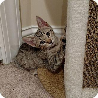 Domestic Shorthair Kitten for adoption in Bensalem, Pennsylvania - Dax