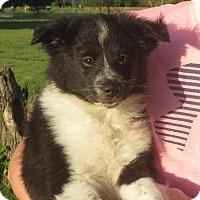 Adopt A Pet :: Indra - Greenville, RI