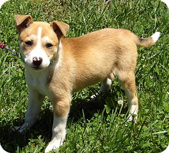 Husky/Australian Shepherd Mix Puppy for adoption in Williamsport, Maryland - Daisy (8 lb) Video