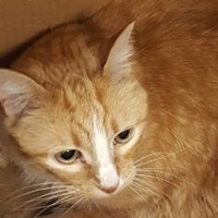 Domestic Shorthair/Domestic Shorthair Mix Cat for adoption in Mesquite, Texas - Wally