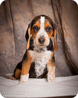 Beagle Puppy for adoption in Circleville, Ohio - Dixie