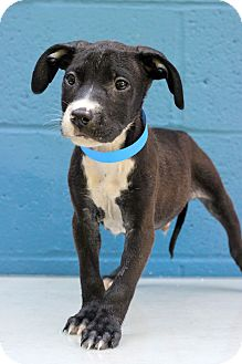 Pit Bull Terrier Mix Puppy for adoption in Waldorf, Maryland - Coffee