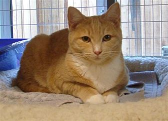 Domestic Shorthair Cat for adoption in Queen Charlotte, British Columbia - Jem