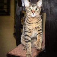 Adopt A Pet :: Henri - Baton Rouge, LA