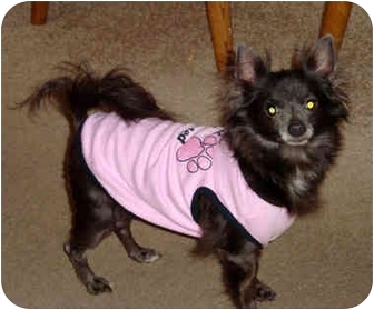 Chihuahua Dog for adoption in Manahawkin, New Jersey - Blue