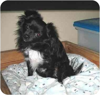 Chihuahua Dog for adoption in Conroe, Texas - Charlie Chi
