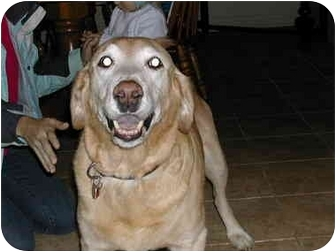 Golden Retriever/Labrador Retriever Mix Dog for adoption in London, Ontario - URGENT!= Sylvan